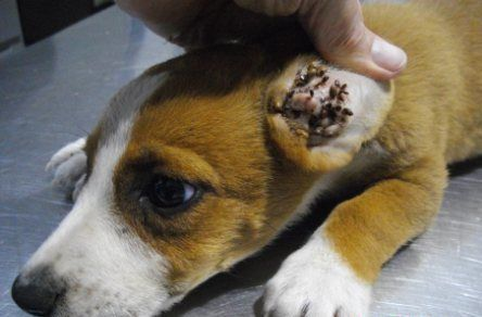 Dogs With Flea Allergies Goldenacresdogs Com
